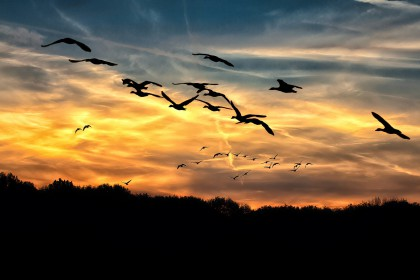 geese-610098_1920